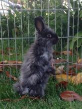 angora bunny rabbit