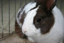 Male Chocolate Dutch bunny rabbit