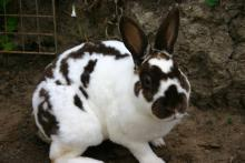 chocolate and white male rex bunny rabbit