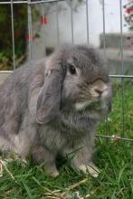 Holland Lop Femal spayed