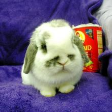 adoptable lop bunny rabbit