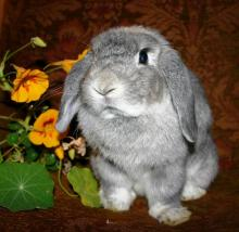 Oal Holland Lop female