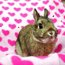 netherland dwart male bunny rabbit