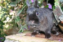 netherland dwarf spayed female bunny rabbit