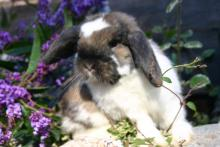 Holland Lop Male Neutered