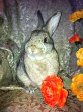 bunny rabbit brown ticked spayed female adoptable