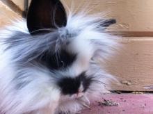 lionhead male bunny rabbit