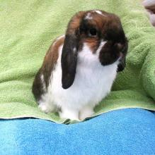 holland lop bunny rabbit