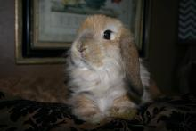 fuzzy holland lop female