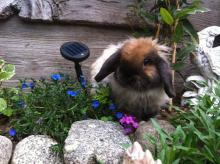 fuzzy holland lop