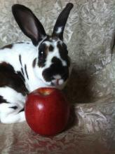 rex male bunny rabbit
